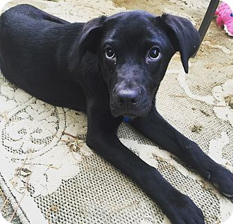 Labrador Retriever/Boxer Mix Puppy for adoption in Brattleboro, Vermont - Nala