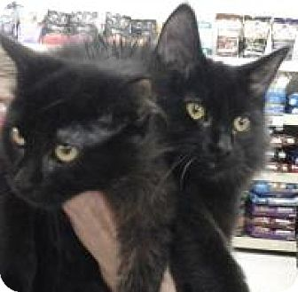 Domestic Mediumhair Cat for adoption in Bear, Delaware - Nina