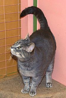 Domestic Shorthair Cat for adoption in Sunderland, Ontario - Tommy Too