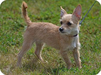 Terrier (Unknown Type, Small) Mix Dog for adoption in Lebanon, Missouri - Lucy