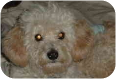 Cockapoo Mix Dog for adoption in Melbourne, Florida - SNOOKIE