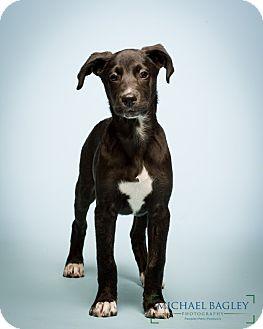 Labrador Retriever/Anatolian Shepherd Mix Dog for adoption in Norwalk, Connecticut - Stockton - MEET ME