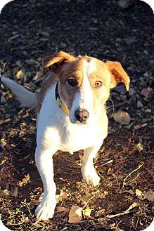 Basset Hound/Shepherd (Unknown Type) Mix Dog for adoption in Westminster, Colorado - ANNA