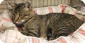 Bengal Cat for adoption in Vacaville, California - Hope