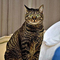 Domestic Shorthair Cat for adoption in Thibodaux, Louisiana - Tabby FE2-8876