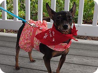 Miniature Pinscher Dog for adoption in Pompano beach, Florida - Lil Bella