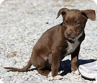 Labrador Retriever Mix Puppy for adoption in Sturbridge, Massachusetts - Charleston