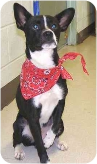 Boston Terrier Mix Dog for adoption in Claymont, Delaware - Ozzie