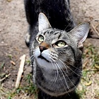 Domestic Shorthair Cat for adoption in Denver, Colorado - Hope Pampa