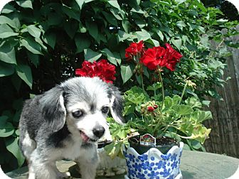 Pomeranian/Mixed Breed (Small) Mix Dog for adoption in Newfield, New Jersey - Millie