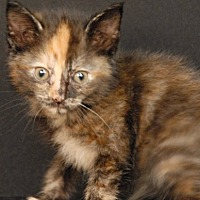 Domestic Shorthair Kitten for adoption in Newland, North Carolina - Butterfinger