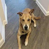 Adopt A Pet :: RINGO - Austin, TX