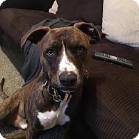 Adopt A Pet :: Nibbler - Denver, CO