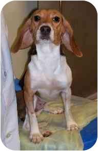 Beagle Dog for adoption in Portland, Ontario - SweetPea