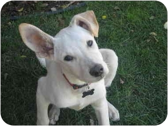 Shepherd (Unknown Type) Mix Puppy for adoption in Los Angeles, California - Hudson