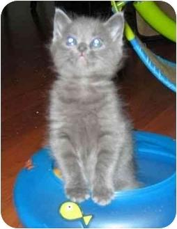 Domestic Shorthair Kitten for adoption in Reston, Virginia - Athos