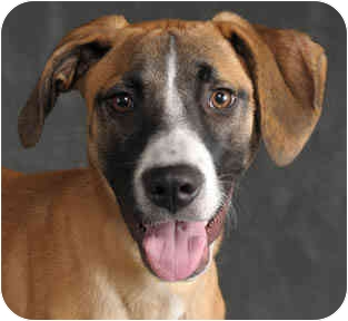 Beagle/Boxer Mix Dog for adoption in Chicago, Illinois - Penny