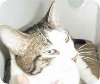 Domestic Shorthair Cat for adoption in Port Jefferson Station, New York - Ernie