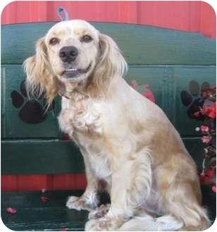 Cocker Spaniel Dog for adoption in Sugarland, Texas - Maudie