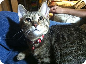 Domestic Shorthair Kitten for adoption in Winchester, California - Buttercup
