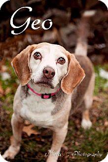 Beagle Dog for adoption in Schererville, Indiana - Geo