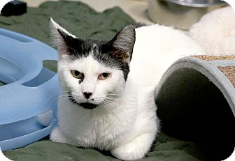 Domestic Shorthair Cat for adoption in Chicago, Illinois - Pantomime