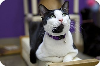 Domestic Shorthair Cat for adoption in Houston, Texas - Josh