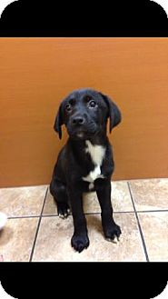 Labrador Retriever Mix Puppy for adoption in Lancaster, Ohio - Fancy