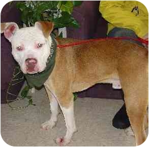 Pit Bull Terrier Mix Dog for adoption in Bakersfield, California - Dr. Pepper