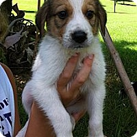 Adopt A Pet :: Lassie - Columbia, SC