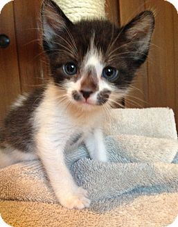 Domestic Shorthair Kitten for adoption in Phoenix, Arizona - Ozzie