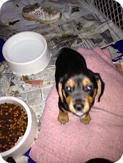 Beagle/Labrador Retriever Mix Puppy for adoption in ST LOUIS, Missouri - Heather