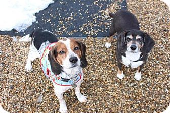 Beagle Mix Dog for adoption in Medfield, Massachusetts - Achilles & Daisy