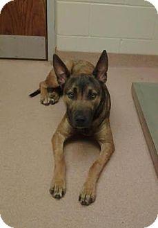 Belgian Malinois Mix Dog for adoption in Columbus, Georgia - Wolfe 5205