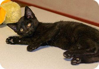 Domestic Shorthair Cat for adoption in Napoleon, Ohio - Two Tone