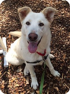 Labrador Retriever/Great Pyrenees Mix Dog for adoption in Briarcliff Manor, New York - Snowy