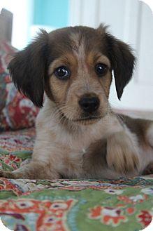 Golden Retriever/Labrador Retriever Mix Puppy for adoption in Allentown, Pennsylvania - Poet