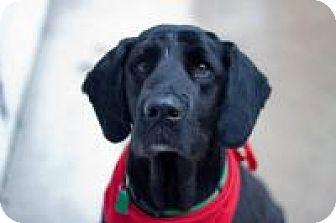 Labrador Retriever/Golden Retriever Mix Dog for adoption in Madison, Wisconsin - Bear