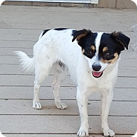 Adopt A Pet :: Sammy - Lap Dog - Bend, OR