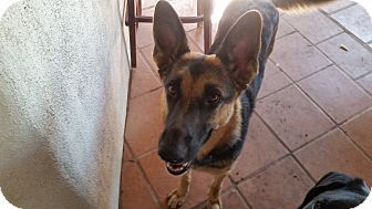German Shepherd Dog Dog for adoption in Peoria, Arizona - Hanna
