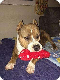 American Staffordshire Terrier Dog for adoption in San Diego, California - Kahleesi