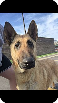 Shepherd (Unknown Type) Mix Dog for adoption in Taylor, Michigan - HOLLIE