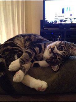 Domestic Shorthair Cat for adoption in Van Nuys, California - Faye