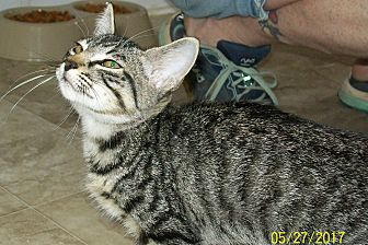 Domestic Shorthair Kitten for adoption in Mexia, Texas - Abbey