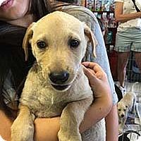 Adopt A Pet :: Gold N Lab Finn - Chantilly, VA
