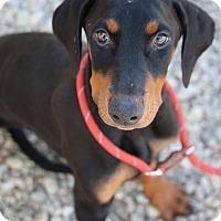 Adopt A Pet :: August (Auggie) - Fillmore, CA