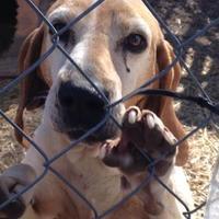 Adopt A Pet :: Daisy - Tahlequah, OK