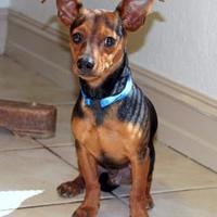 Adopt A Pet :: Miko - Waco, TX