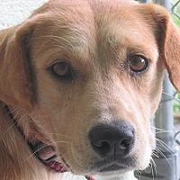Adopt A Pet :: Daisy Duke - Germantown, MD