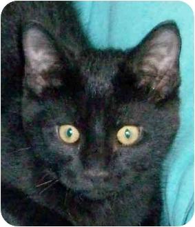 Domestic Shorthair Kitten for adoption in Olive Branch, Mississippi - Cricket